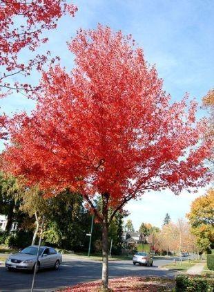 Červený javor strom