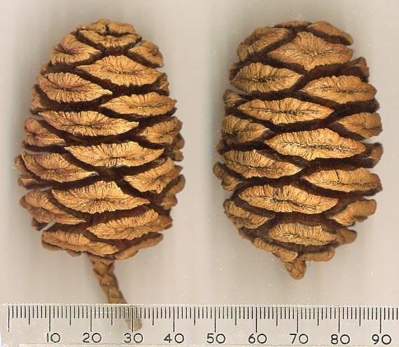 Sekvojové šišky nepřipomínají obrovitost stromu na kterém vyrostly