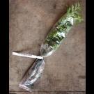 Červený Cedr          (Thuja plicata)